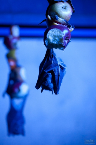 blue fruit bat
