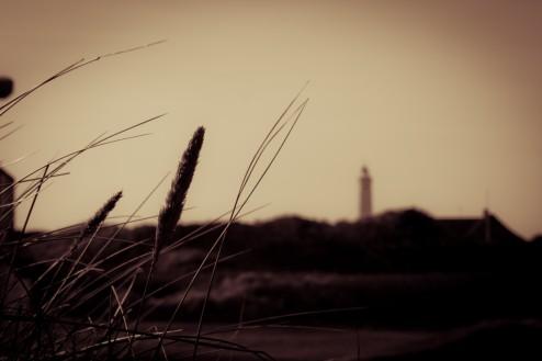 Schilfgräser an der dänischen Nordseeküste