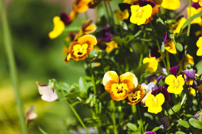 Blüten eines Hornveilchens