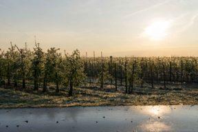 Gefrorene Apfelbäume
