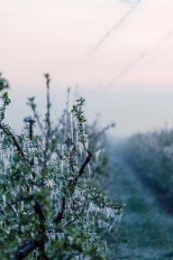 Vereiste Äste eines Obstbaumes