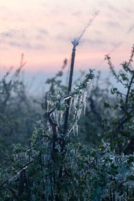 Eiszapfen an Obstbäumen