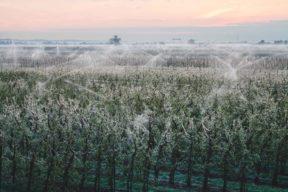 Sonnenaufgang über Obstplantage