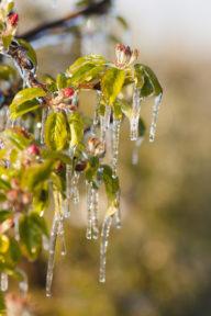 Apfelblüte im Eismantel