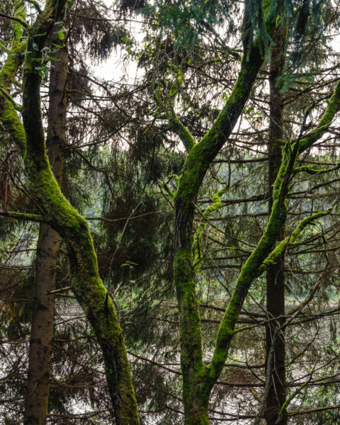 Moosbewachsene Bäume am Stausee